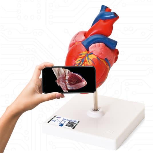 Virtual meets Reality: Durch einfaches Scannen des NFC-Chips im Smart-Label an den Modellen von 3B Scientific erhält man Zugriff auf die kostenlosen 3B Smart Anatomy Kurse